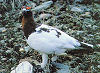 Picture of the Willow+Ptarmigan, the official state bird of Alaska.