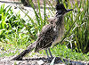 Picture of the Chaparral+Bird+or+Roadrunner+, the official state bird of New Mexico.