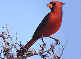 official north carolina state bird