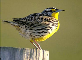 Colleges In Northern California >> The Official North Dakota State Bird - The US50