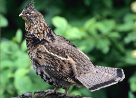 official pennsylvania state bird