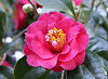 Picture of the Camellia, the official state flower of Alabama.