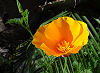 Picture of the California Poppy, the official state flower of California.