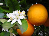 Picture of the Orange Blossom, the official state flower of Florida.