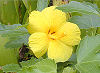 Picture of the Hawaiian Hibiscus, the official state flower of Hawaii.