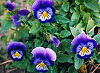 Picture of the Violet, the official state flower of Illinois.