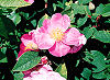 Picture of the Wild Rose, the official state flower of Iowa.
