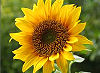 Picture of the Native Sunflower, the official state flower of Kansas.