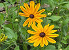 Picture of the Black-Eyed Susan , the official state flower of Maryland.