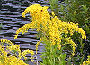 Picture of the Goldenrod, the official state flower of Nebraska.