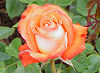 Picture of the Rose, the official state flower of New York.