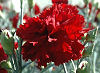 Picture of the Red Carnation, the official state flower of Ohio.