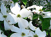 Picture of the American Dogwood, the official state flower of Virginia.